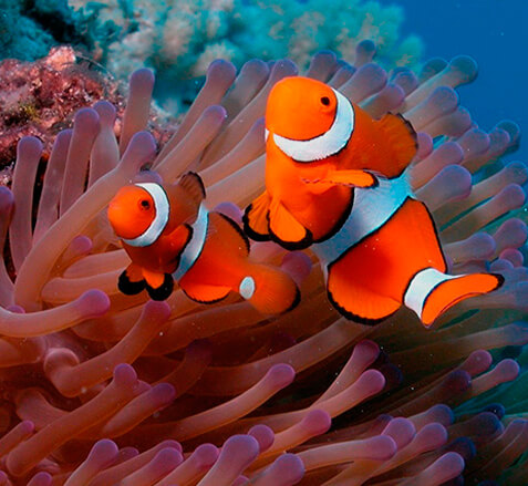 Рыба-клоун в океанаруиме Сочи